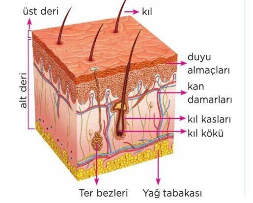 Deri Nedir - İnsan Vücudunda En Ağır Organ: Derimiz